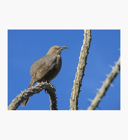Curved-billed Thrasher ~ I Know Your Watching Me Photographic Print