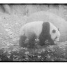 Panda, Adelaide zoo by Soxy Fleming