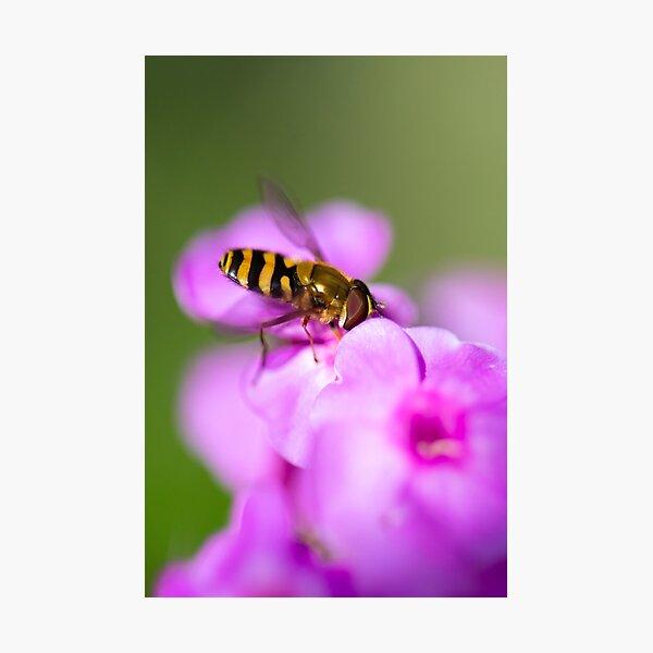 Hoverfly  Macro   Photographic Print