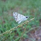Spring Azure butterfly with an ant by May Lattanzio