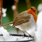 The Robin : Great Britain and Europe by AnnDixon