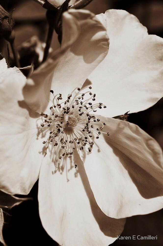 Sepia Rose by Karen E Camilleri