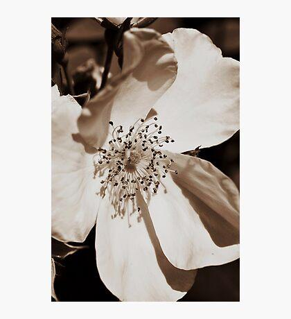 Sepia Rose Photographic Print