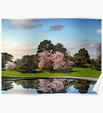 Cherry Tree Reflections Poster