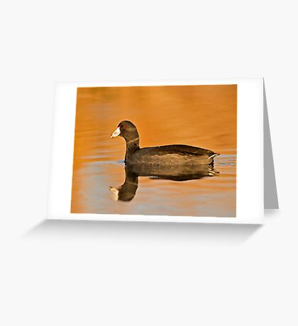 An American Coot  Greeting Card