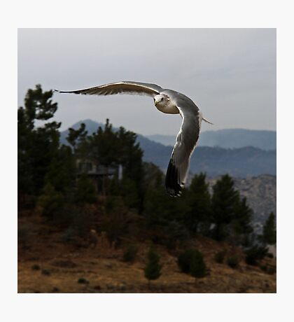 Quick Flight in the Brisk Mountain Air Does a Seagull Good Photographic Print