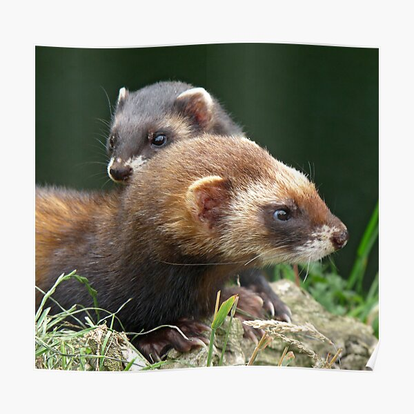 There's a polecat about Poster