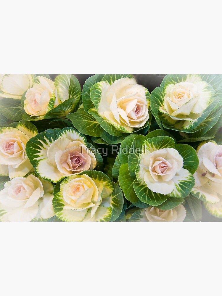 Flowering Kale Bouquet by taos