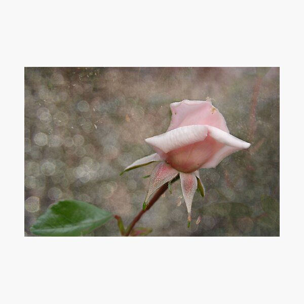 Pink Rose Bud Photographic Print