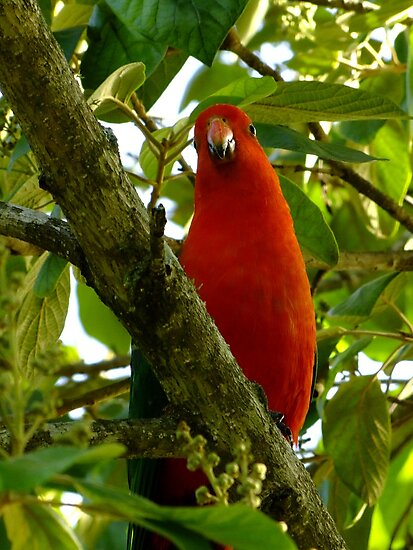 My First King Parrot!  Yeah! by Gabrielle  Lees