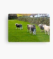 Ba Ba Herdwick Sheep Metal Print