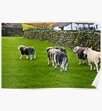 Ba Ba Herdwick Sheep Poster