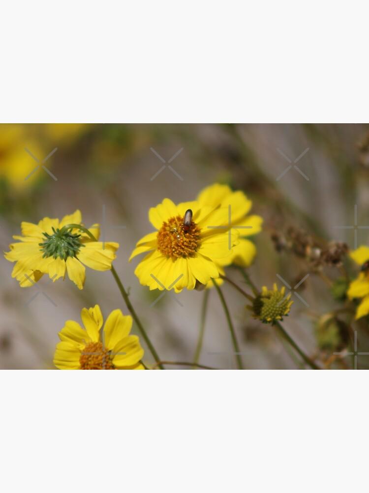 Beetle on Brittle Bush Coachella Preserve by ButterflysAttic