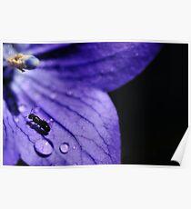 Flower purple Drops Poster