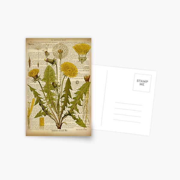 Botanical print, on old book page - dandelion flowers Postcard