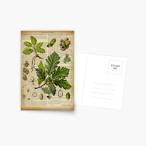 Botanical print, on old book page - Oak Postcard