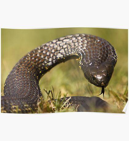 Eastern Tiger Snake Poster