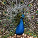 Peacock Blue by yolanda