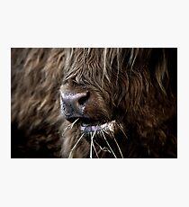 Hamish, Highland Cow, Kilmahog Photographic Print