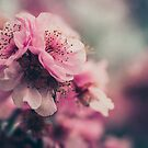 Cherry Blossom Pink by yolanda