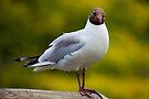 Black Headed Gull by Stuart Robertson Reynolds