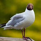 Black Headed Gull by Stuart Robertson Reynolds