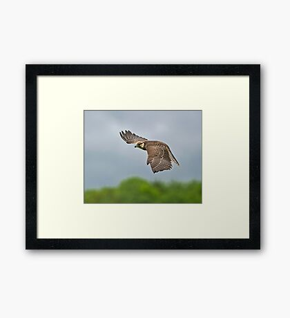 Lanner Falcon in Flight Framed Print