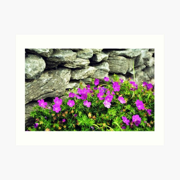 Bloody Crane's Bill and drystone wall Art Print