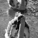 Swans DOF by Evette Lisle