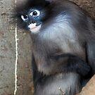 Dusky Leaf Monkey by Stuart Robertson Reynolds
