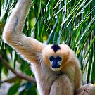 Northern White-cheeked Gibbon by Stuart Robertson Reynolds