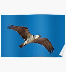 Osprey, Broome, WA Poster