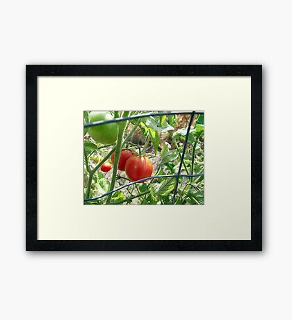 Tomatoes on the vine... Framed Print