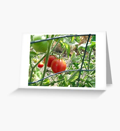 Tomatoes on the vine... Greeting Card