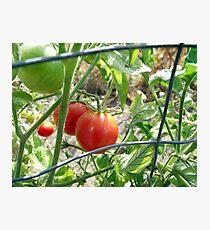 Tomatoes on the vine... Photographic Print