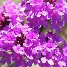 Purple passion  by jack01