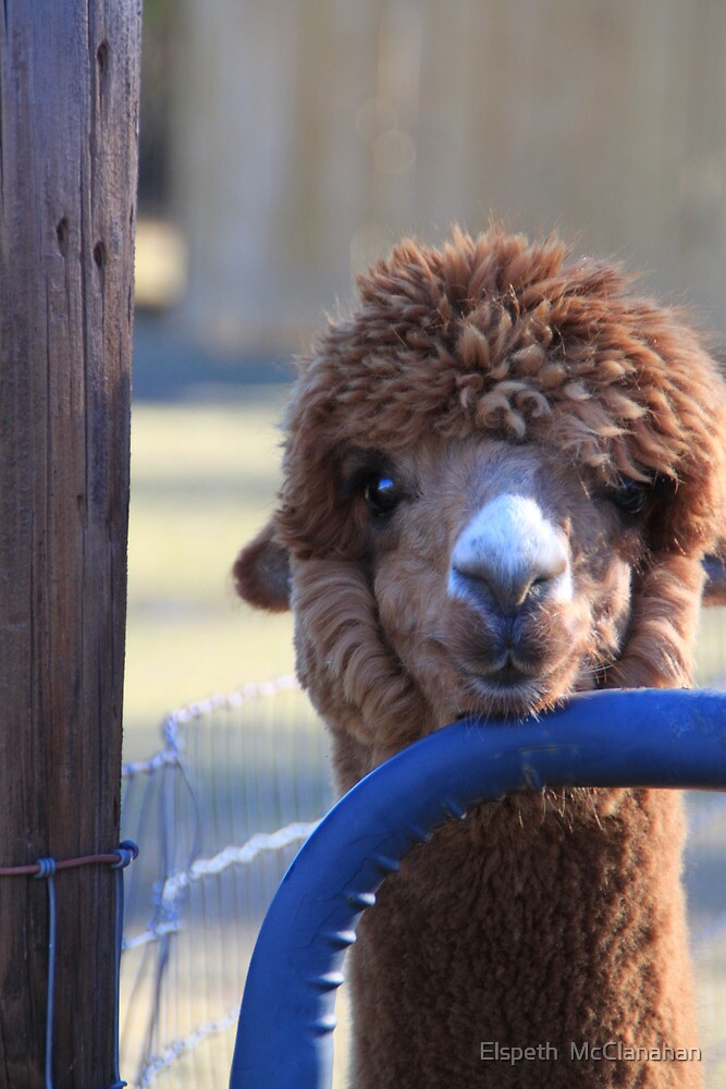 Alpaca and the blue gate by Elspeth  McClanahan