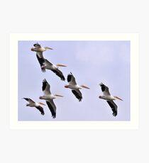 Flock of Pelicans Art Print