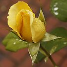 Yellow Rose by AlexMac