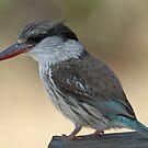 Striped kingfisher by Anthony Goldman