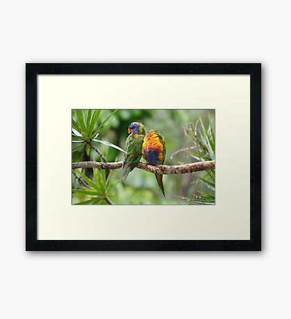 A Wet Pair of Rainbow Lorikeets Framed Print