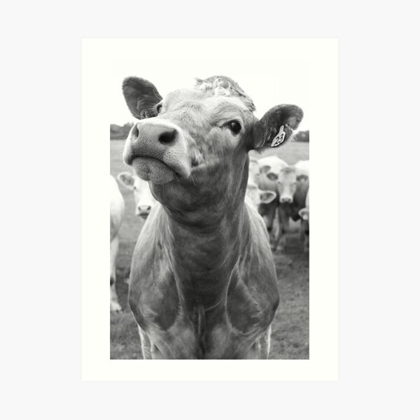 Inquisitive Cow Art Print
