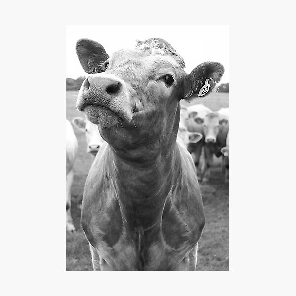 Inquisitive Cow Photographic Print