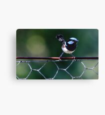 Blue Wren Canvas Print
