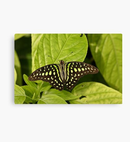 Tailed Jay Canvas Print
