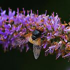 Hoverfly , Volucella Pellucens by relayer51