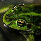 Growling Grass Frog by Murray Wills