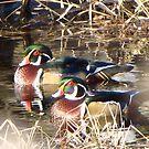 American Wood Ducks by Dee Belanger