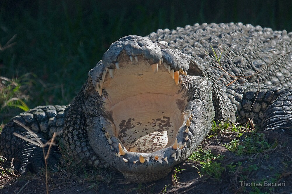 Crocodile with Mouth Wide Open by TJ Baccari Photography