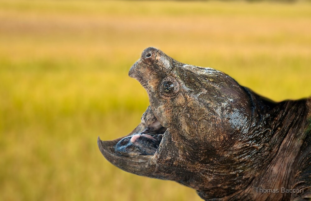 Alligator Snapping Turtle by TJ Baccari Photography